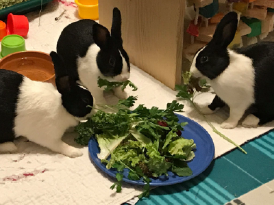 Young rabbits eating greens