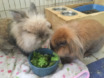 Rabbits eating greeens